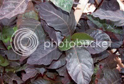 Gambar daun ungu