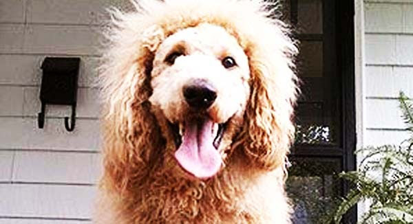Σκύλος που μοιάζει με… λιοντάρι!