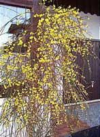 Jazmín amarillo, Jazmín de invierno, Jazmin de San José