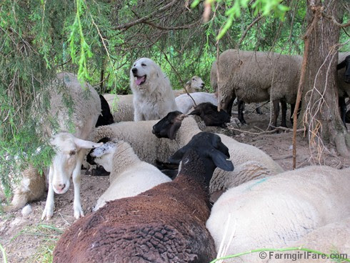 (9) Daisy under a cedar tree with her flock - FarmgirlFare.com