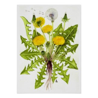 Common Dandelion -- Sue Abonyi Poster
