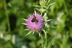 "Busy Bees on Milk Thistle, Silybum marianum """"Adriana"""""