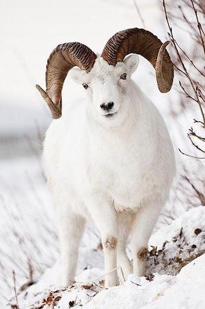bighorn_sheep_300