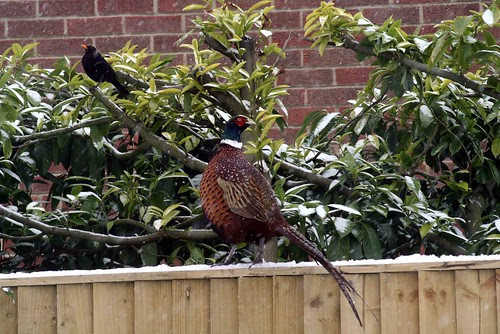 """So"" said the Pheasant to the Blackbird, ""Do you come here often?"""