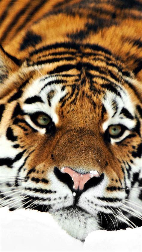 tap     app animals tiger stripes ginger