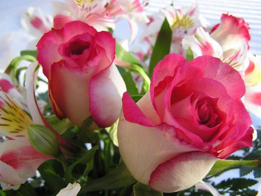Beautiful Rose Flowers Wallpapers Sf Wallpaper