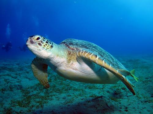 Tartaruga-verde - Tartarugas marinhas - Biologia - InfoEscola