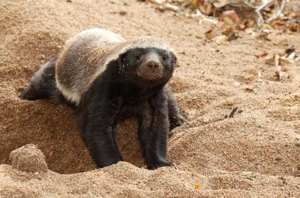 Honey Badger Botswana Wildlife Guide