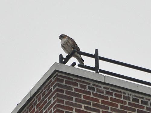 106th Street Hawk