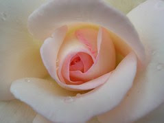 return of the pink rose... =)