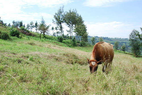 Dairying in Bomet District, Kenya