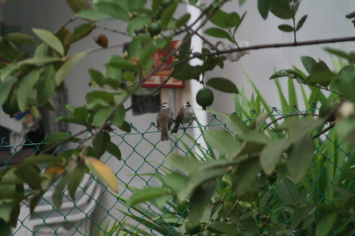 Bulbuls by guava tree (4)