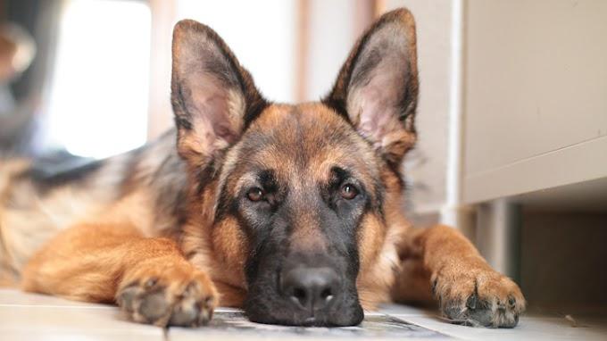 Estas son todas las razas de perro Pastor alemán