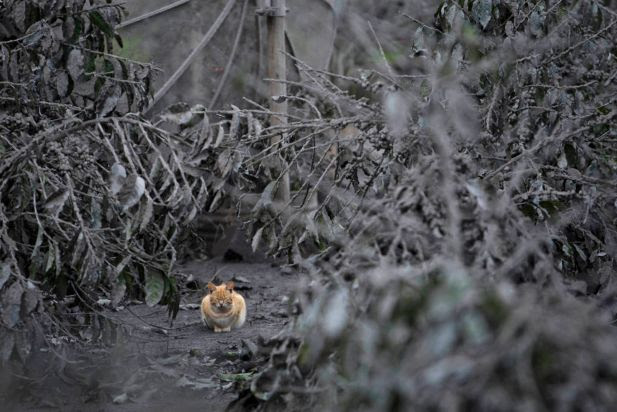 A cat is seen in an area covered by ash as following a further eruption of the Mount Sinabung in Sebintun village on January 9, 2014 in Karo District, North Sumatra, Indonesia. The number of displaced people has increased to 22,000 in Western Indonesia as Mount Sinabung continues to spew ash and smoke after several eruptions since September. Eleven deaths have now been recorded as a result of the eruptions with hundreds more falling ill. Officials expect the number of evacuees to rise as volcanic activity remains high.