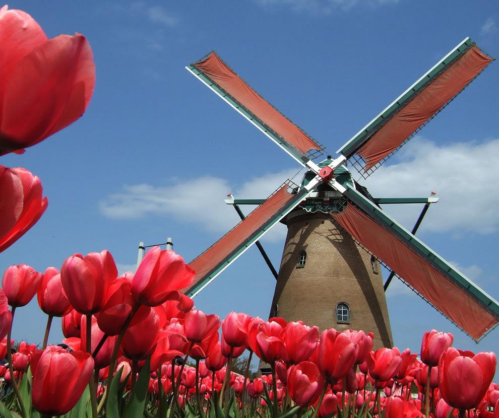 Ανεμόμυλος στην Ολλανδία, όχι, Sakura Πόλη Tulip Festival στην Ιαπωνία