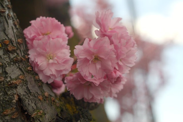 late cherry blossoms, se stark