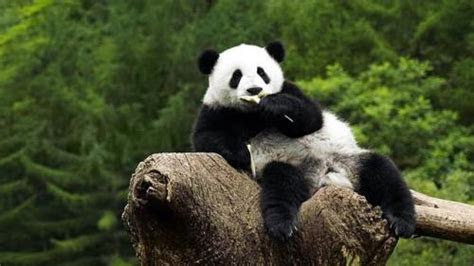 gambar top pictures amazing panda images collection march