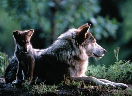 Reproducción De Los Lobos Lobopedia