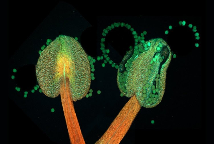 10. Bellow flowering Arabidopsis thaliana microscope facts
