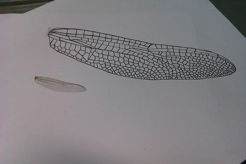 蜻蜓翅膀.jpg