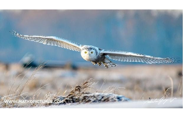 A snowy owl swoops low over the foreshore of Boundary Bay in south Delta.   Martin Gregus Jr. photo
