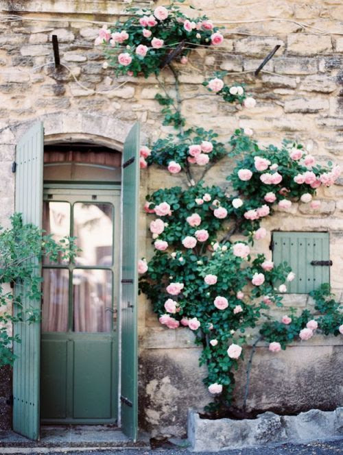 climbing roses in provence