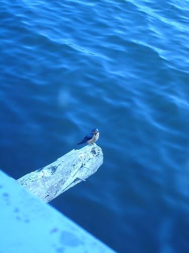 Blue bird flies Free