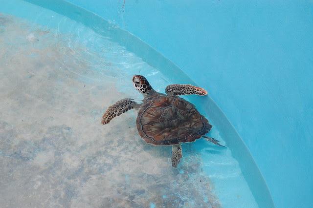 cancun_isla_mu_big_turtle
