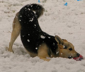 The Wolf Dog playing with a ball in the snow