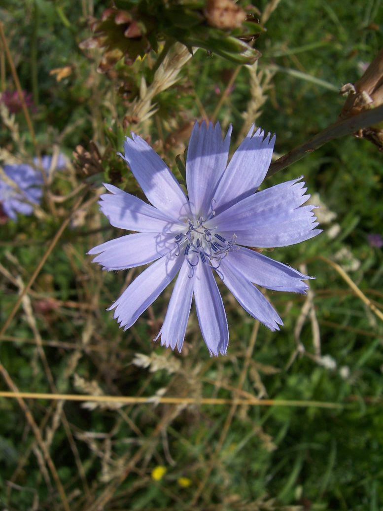 Photo de chicorée sauvage Chicorium intybus