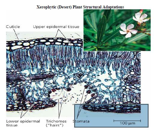 Qunang Qunang Blog: adaptations of xerophytes