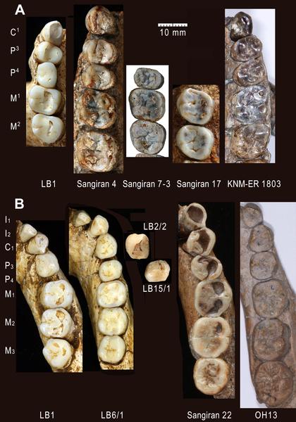 Figura 9. denticiones de H. floresiensis y el Homo especímenes del Pleistoceno Temprano seleccionados.