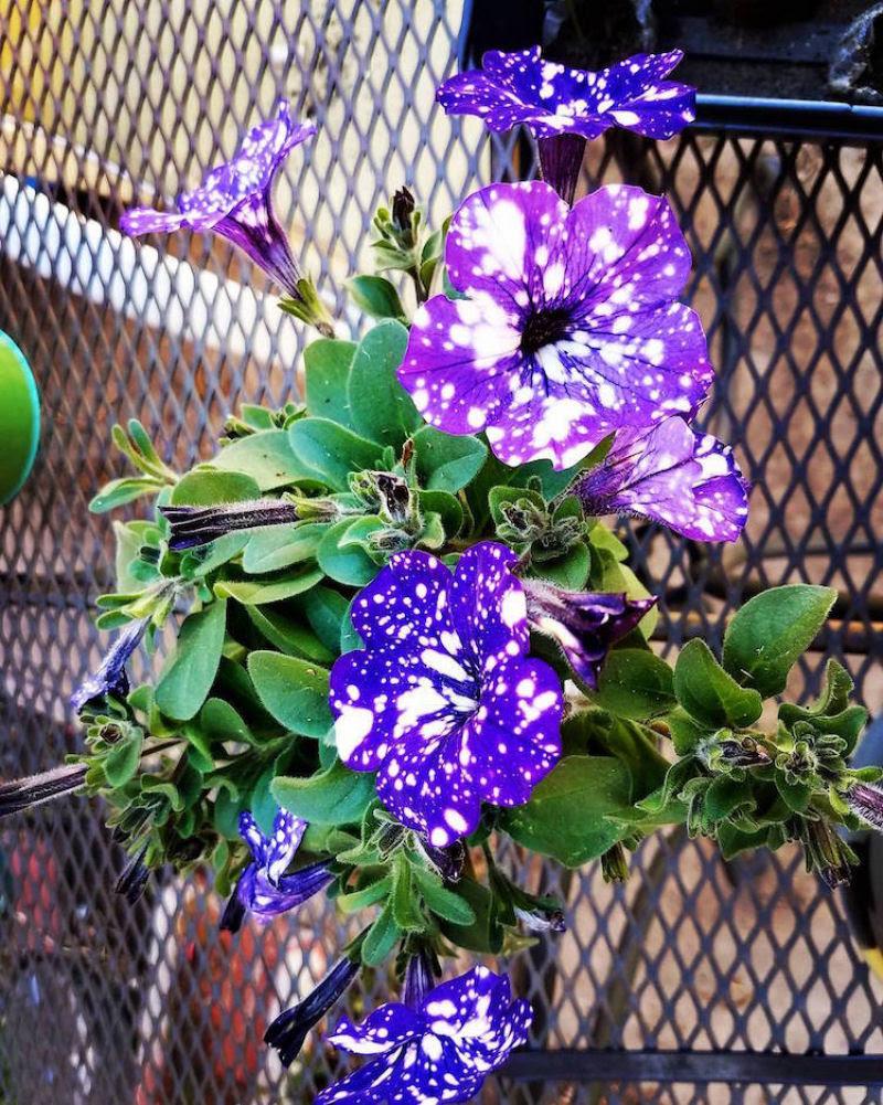 Flores espetaculares parecem ter o universo estampado em suas pétalas 10