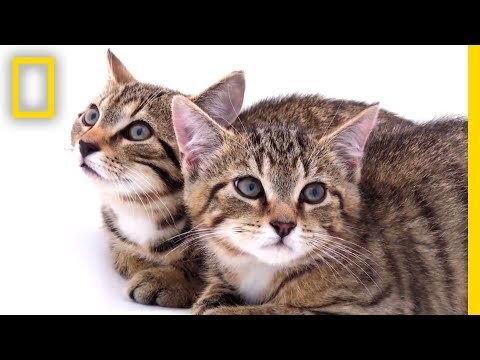 Rescued Scottish Wildcat Kittens Among Last of Their Kind | National Geo...
