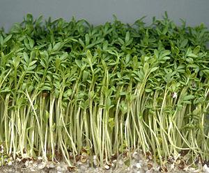 English: Garden cress. Latina: Lepidium sativu...
