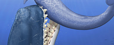 This artists' rendering provided by the journal Nature shows a raptorial sperm whale Leviathan melvillei attacking a medium-size baleen whale off the coast of the area now occupied by Peru.  (AP)