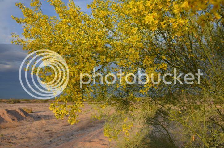 photo Sonoran.PV in bloom_zpskm7xhouh.jpg