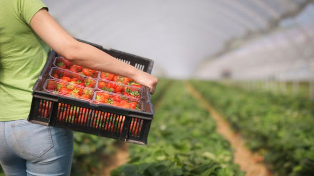 A worker holding strawberries in a polytunnel
