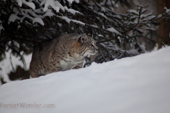 Bobcat Hillside Snow Under Tree