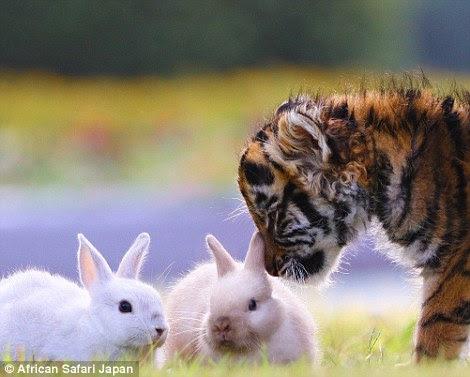 Este filhote de tigre curioso é visto farejando os coelhos, que por sua vez, parecem ser completamente sem medo do gato grande