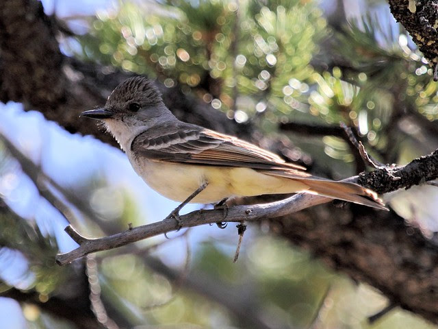Ash-throated Flycatcher 3-20130617