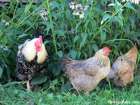 The chickens love to hang out in the echinacea patch - FarmgirlFare.com