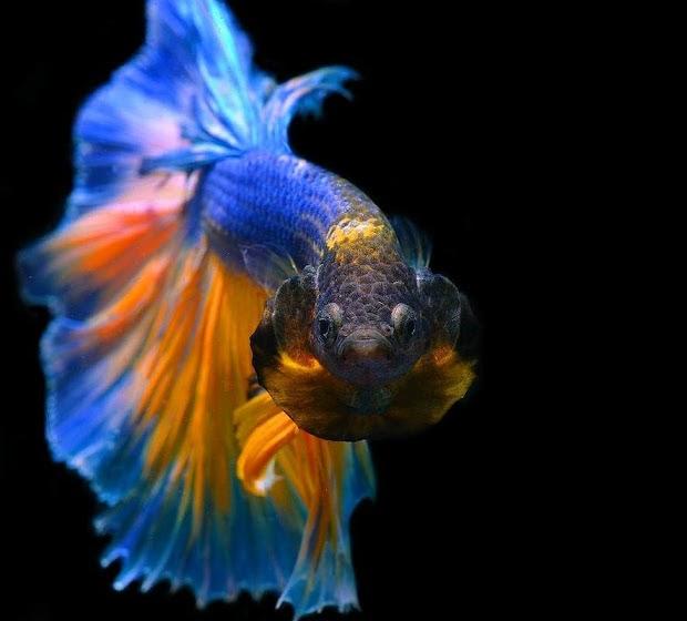 Paling Bagus 21 Wallpaper Animasi Ikan Cupang Joen Wallpaper