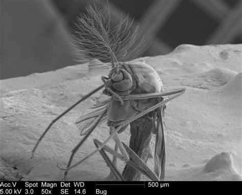 Creepy Electron Microscope Pics of a Gnat (10 pics