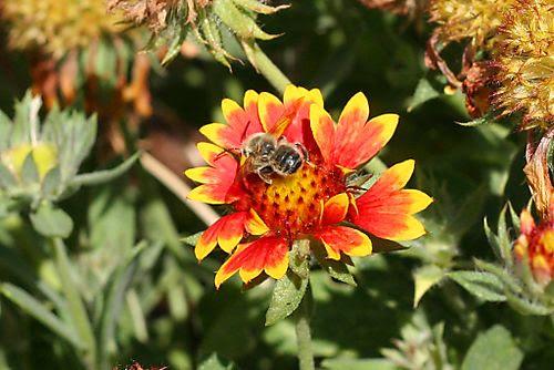 Blanketflower bee web