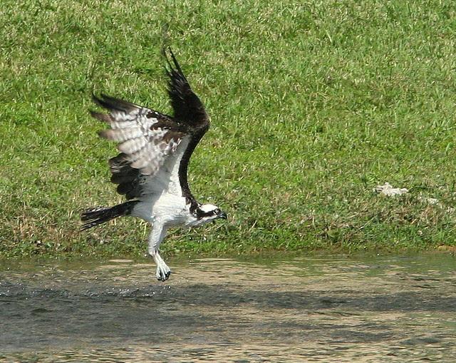 Osprey Takeoff 20091028