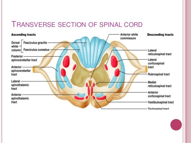 tracts of spinal cord 7 638