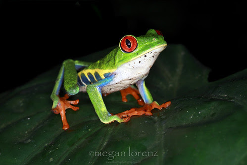 Rainforest Rana by Megan Lorenz