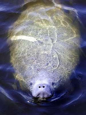 Uma intoxicação pela maré vermelha provocou parte das mortes dos animais na Flórida Foto: AFP
