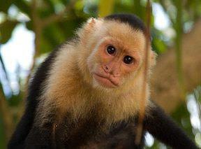 mono capuchino  Mono capuchino mono capuchino 4